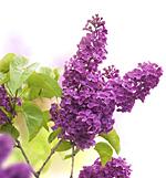 """der Flieder """" Pflanze des Monats April"""