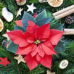 der Weihnachtsstern – Pflanze des Monats Dezember