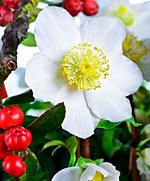 die Christrose − Pflanze des Monats Dezember
