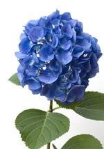 die Hortensie − Pflanze des Monats Juli