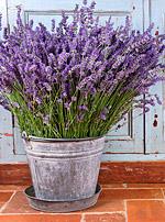 der Lavendel − Pflanze des Monats Juni