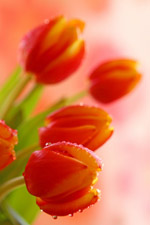 die Tulpe − Pflanze des Monats März