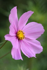 die Herbstanemone – Blume des Monats Oktober