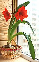 die Amaryllis - Pflanze des Monats Oktober