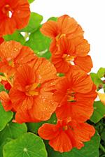 die Kapuzinerkresse − Pflanze des Monats September