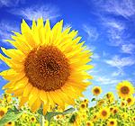 die Sonnenblume - Blume des Monats August