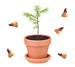 Wir schenken Ihnen 5 Samen der Nordmanntanne